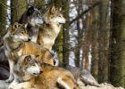 Nông dân Đức nổi giận vì sói quay lại